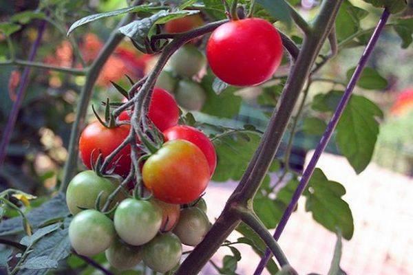 Томат афродита f1: характеристика и описание сорта, фото, отзывы, урожайность