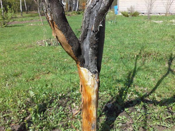 Ютуб грызуны погрызли яблоню что делать. что делать, если кору яблони погрызли мыши