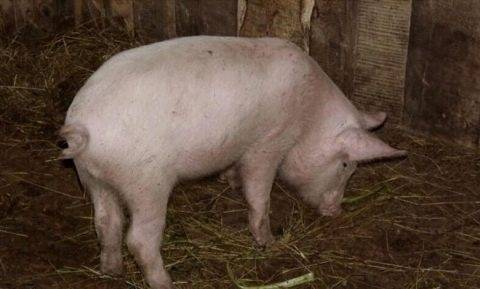 Как определить беременность свиньи и сколько беременная свинья ходит?