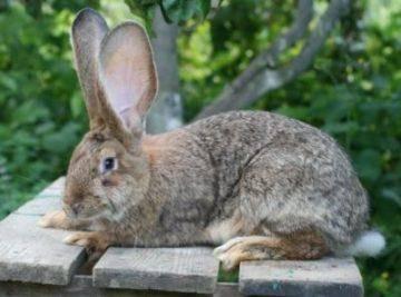 Продуктивная характеристика кроликов породы ризен