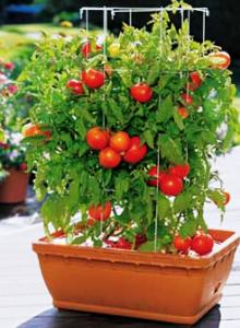 Балконное чудо помидоры: описание, характеристики и советы по выращиванию в домашних условиях (125 фото и видео)