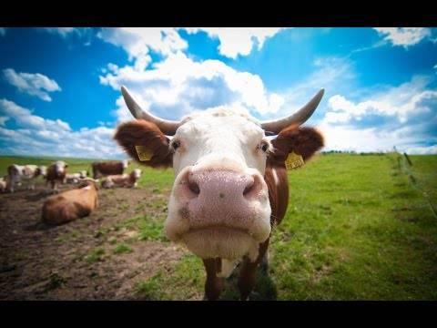 Если у коровы был выкидыш
