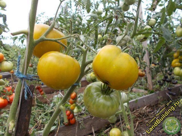 Томаты «малахитовая шкатулка» — отличный сорт для сурового климата