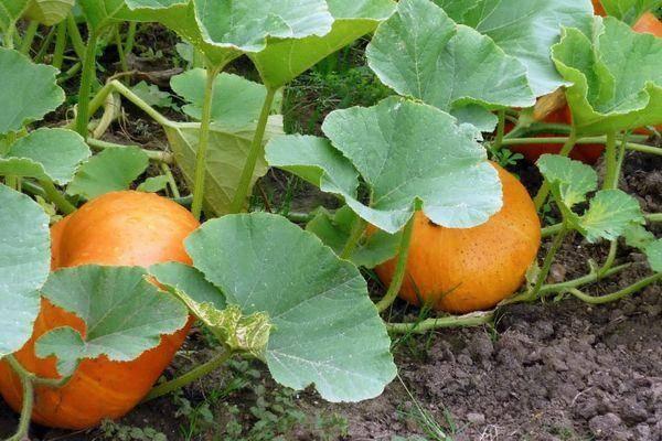 Выращивание тыквы в открытом грунте