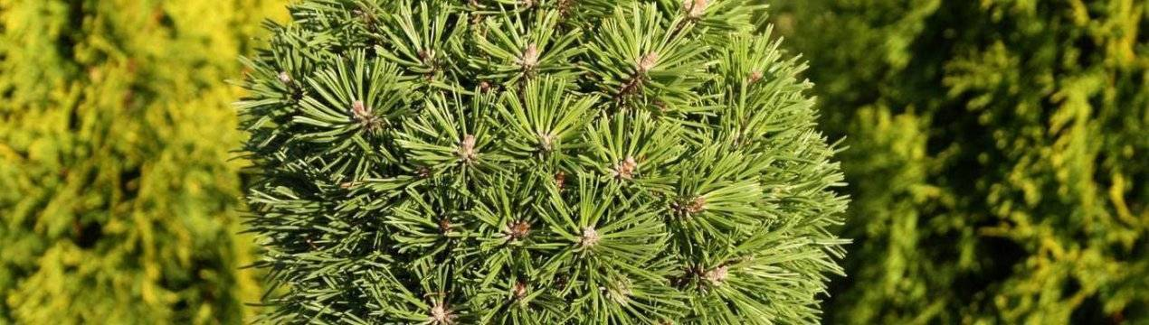 Карликовая горная сосна: посадка, уход и размножение