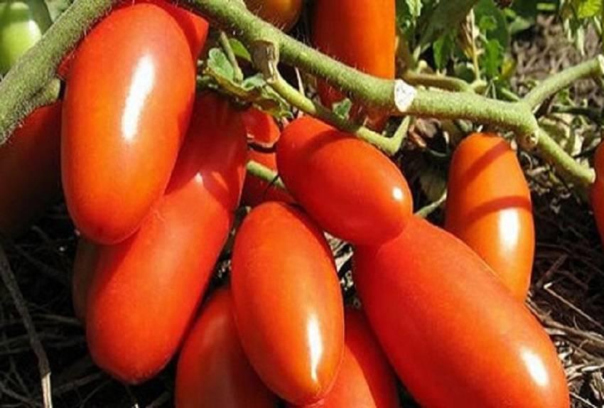 Раннеспелый гость из японии — томат бэлла роса f1: полное описание сорта и его характеристики