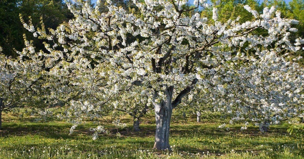 Почему вишня не распускается после зимы