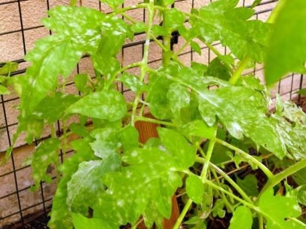 Пятна на рассаде помидоров: что делать
