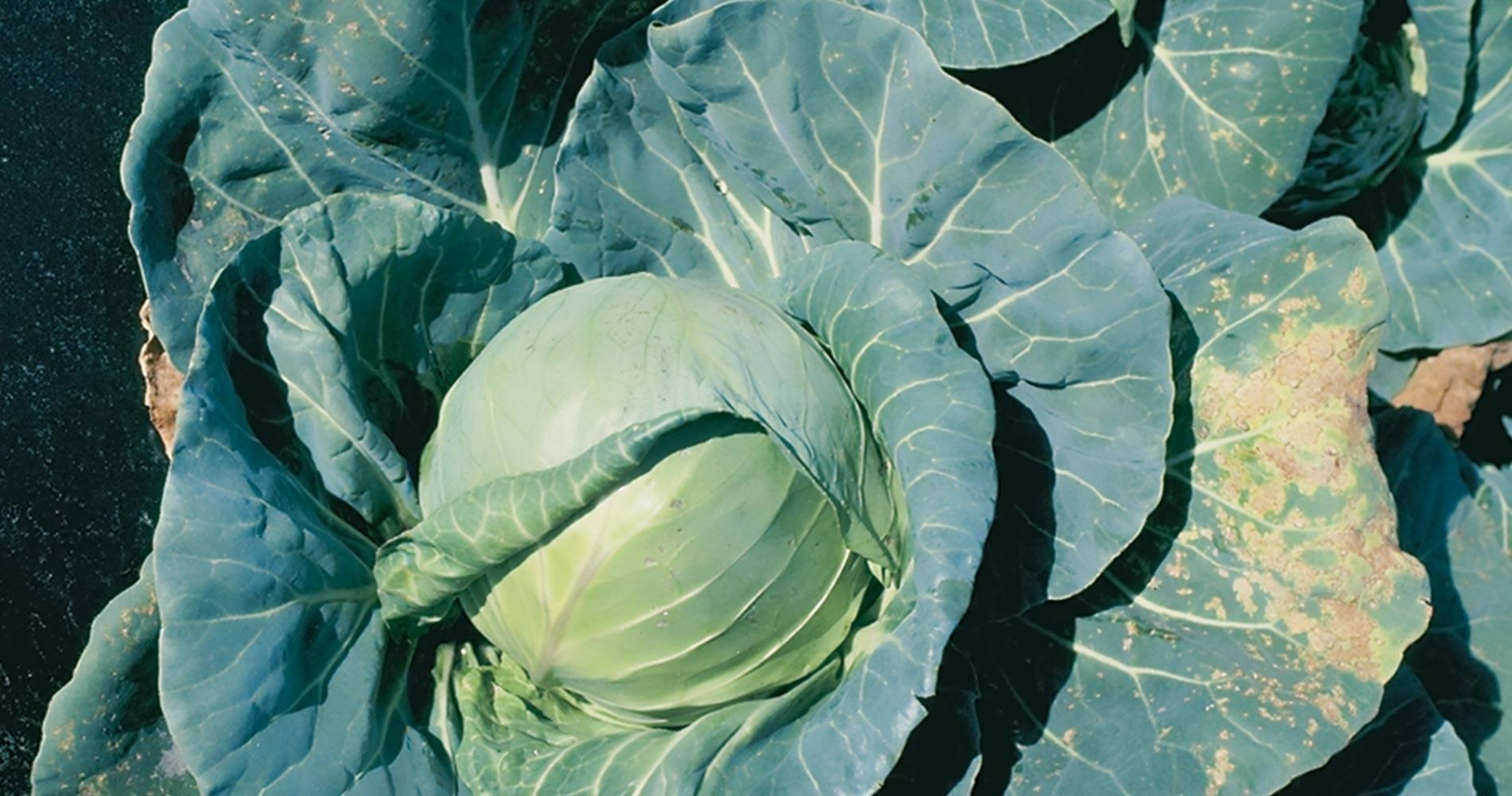 Капуста агрессор: описание и характеристика сорта, особенности хранения урожая