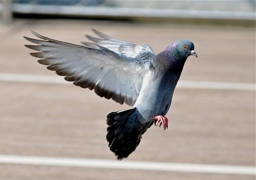 Все, что вы хотели знать о птенцах голубей