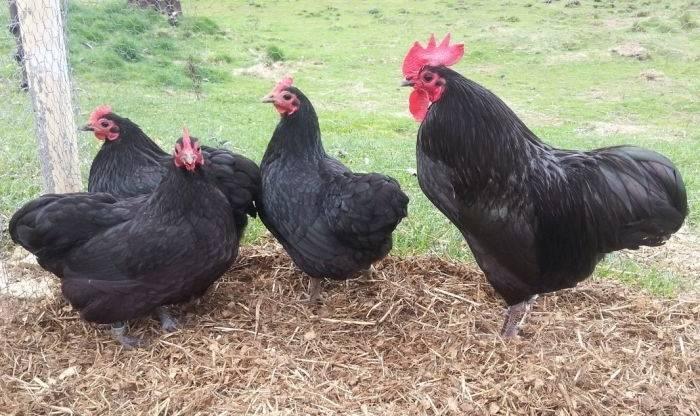 Московская черная порода кур: характеристики и содержание