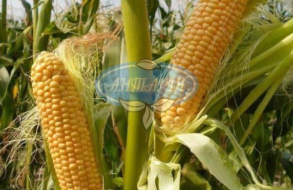 Сахарная кукуруза – лучшие сорта, практические рекомендации по выращиванию