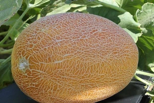 Амал – вкусная и полезная дыня: описание и тонкости её выращивания