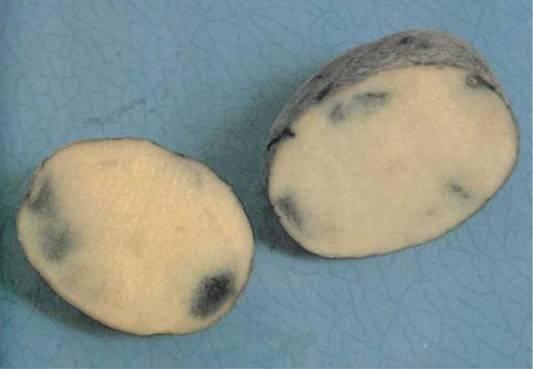 Почему картофель при хранении зеленеет и чернеет внутри, а также из-за чего прорастает, каким образом избежать болезней овоща?