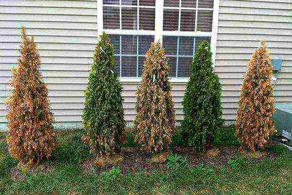 Разведение и выращивание туи из ветки