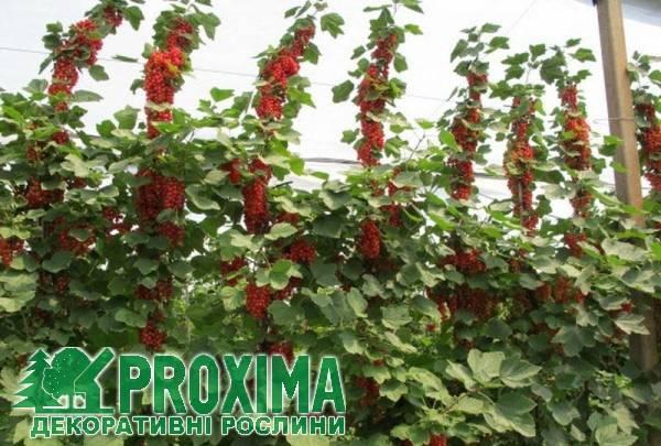 Как вырастить великолепную красную смородину: знакомьтесь, сорт йонкер ван тетс