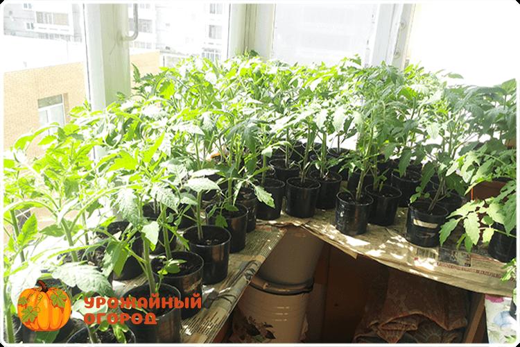 Уход за рассадой помидор в домашних условиях