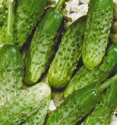Огурец Хабар: отзывы, фото, урожайность