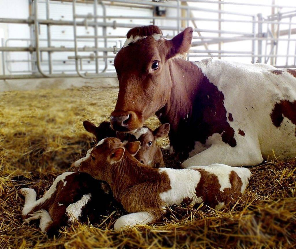 Способы и виды искусственного осеменения коров