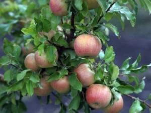 Осенняя яблоня бельфлер китайка