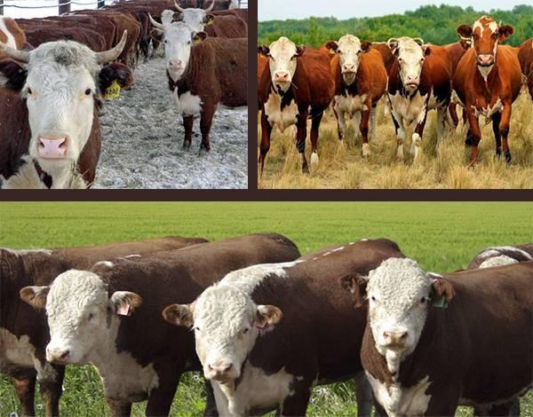 Казахская белоголовая порода коров: характеристики, особенности и отзывы - общая информация - 2020