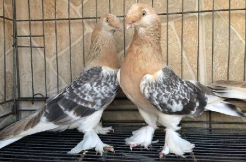 Описание голубей турецкая такла