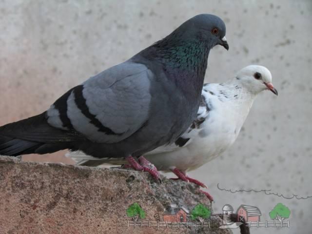 Болезни домашних голубей: симптомы и методы лечения