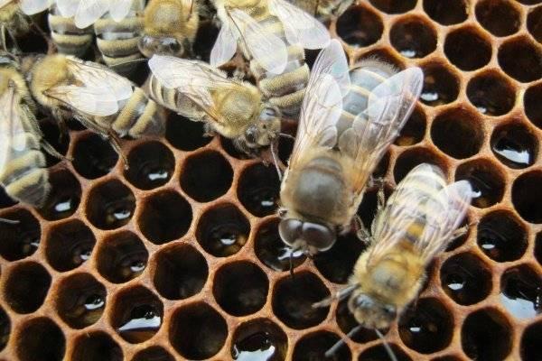 Жизнь, состав и обязанности пчелиной семьи: матка, трутни и рабочие пчелы