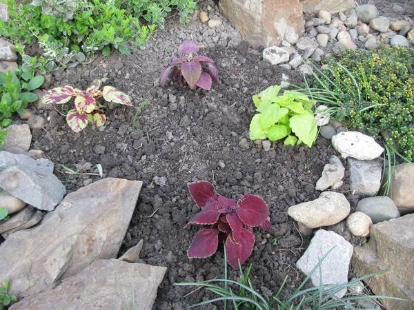 Колеус в саду и в домашних условиях