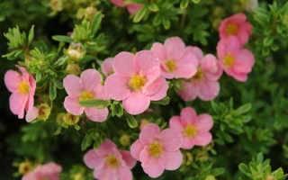 Лапчатка кустарниковая pink beauty