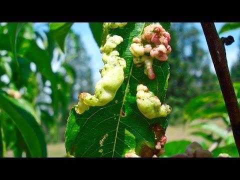 Причины появления и лечение курчавости листьев персика