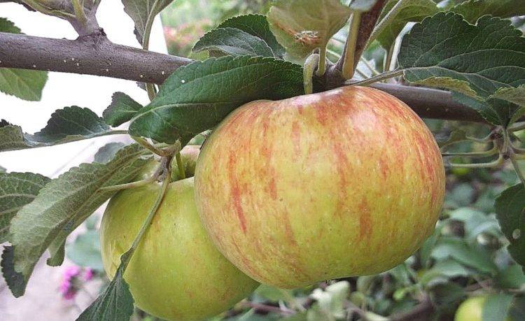 Сортовая колоновидная яблоня — медок