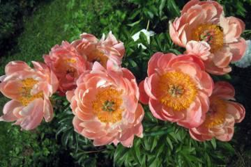 Пион боул оф бьюти (paeonia bowl of beauty) — выращивание на участке || пион травянистый боул оф бьюти