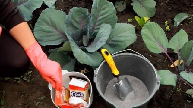 Обработка и защита капусты от слизней и улиток