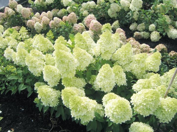 Гортензия бобо: 4 сезонного изменения
