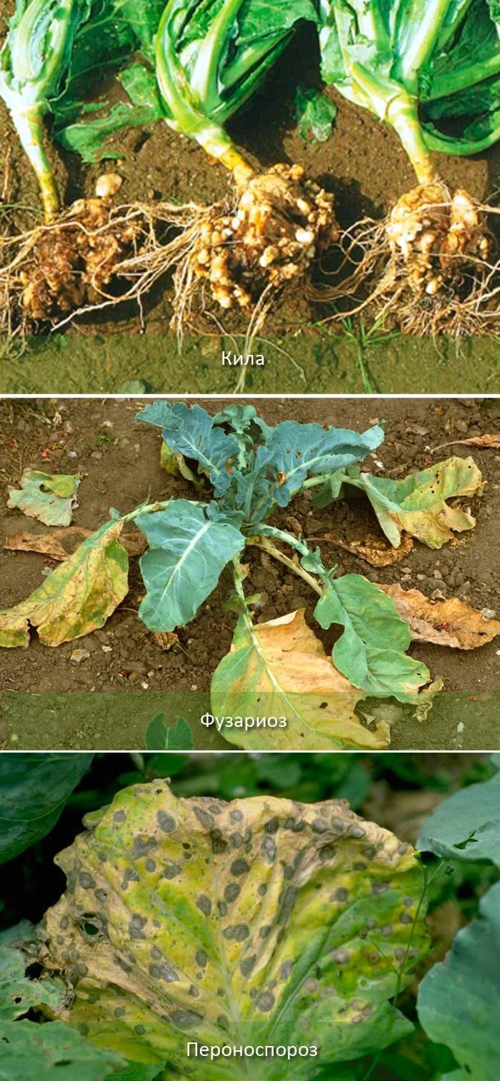 Обработка капусты: сроки, способы борьбы с вредителями