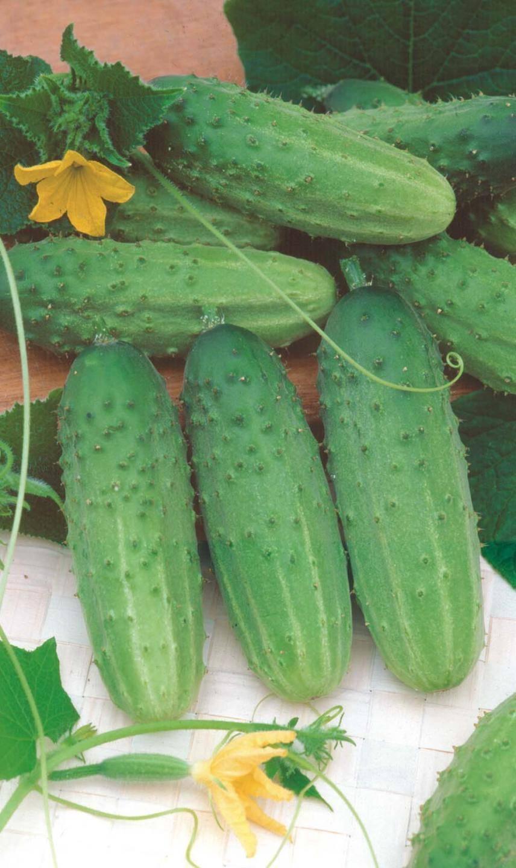 Выбираем семена огурцов голландской селекции