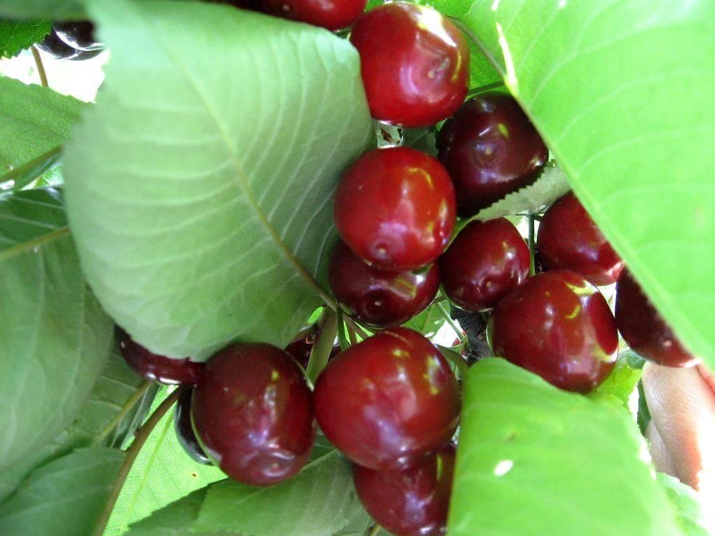 Черешня валерий чкалов: сладкий урожай в июне