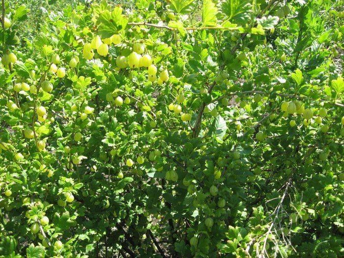 Крыжовник малахит: описание вида и уход