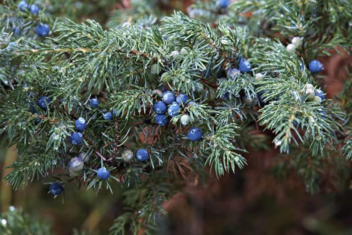 Можжевельник (104 фото): как он выглядит и где растет? описание высоких деревьев и кустарников. посадка в открытом грунте и уход