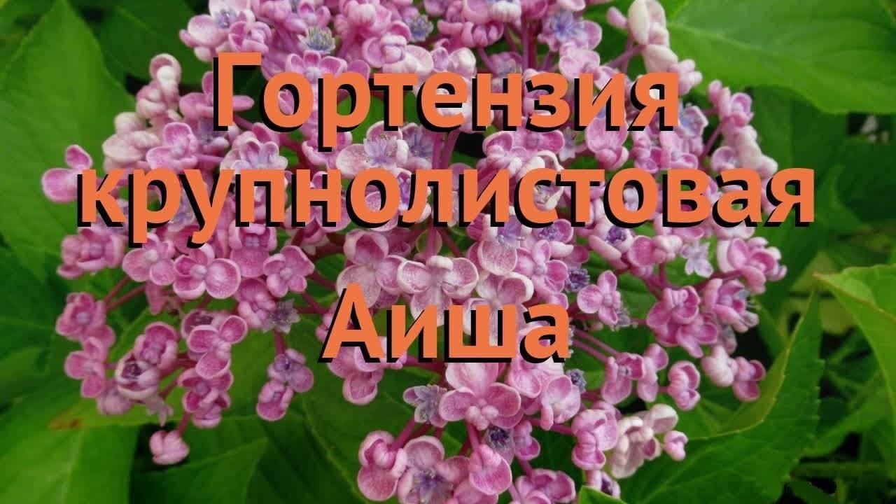 Гортензия крупнолистная: описание сортов и выращивание