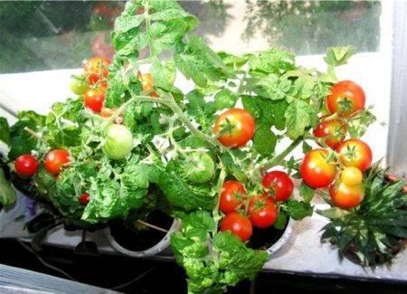 Как вырастить помидоры без огорода? посадите томат балконное чудо