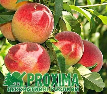 Особенности разведения персика сорта редхейвен