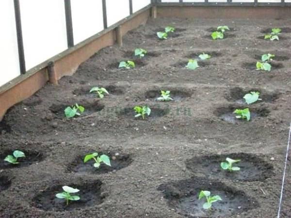 Самостоятельная подготовка семян огурцов к посадке