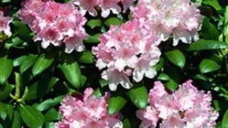 Вредные и полезные свойства рододендрона адамса и других видов этого растения