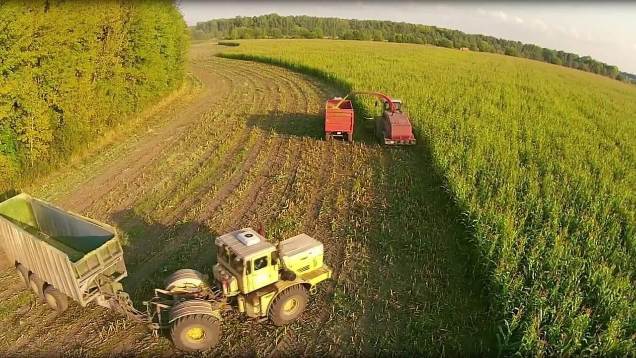 Кукуруза: выращивание и уход в открытом грунте, сбор и хранение урожая