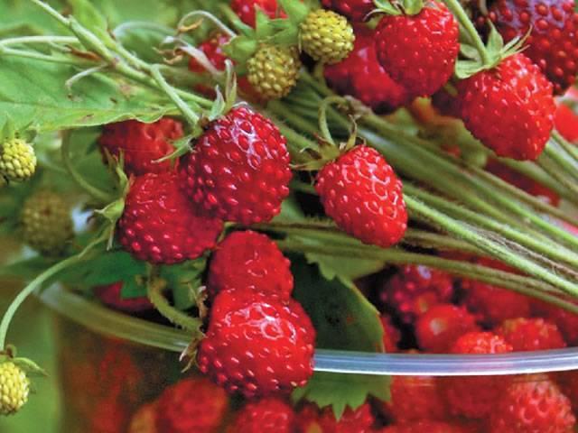 Ремонтантная клубника: лучшие сорта для подмосковья, выращивание