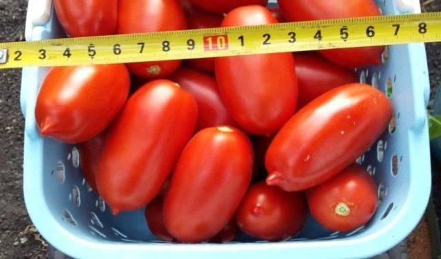 Выращивание томата царское искушение