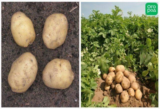Лучшие сорта картофеля для сибири, особенности их выращивания, фото и описание