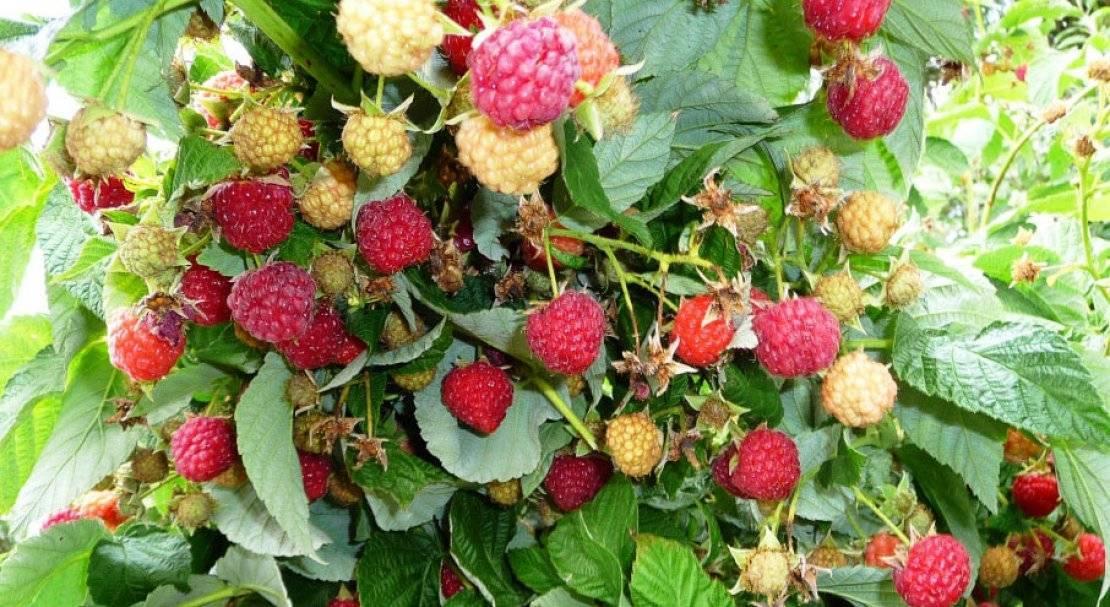 Малина золотая осень: характеристика, особенности выращивания